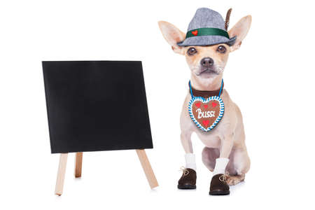 beerfest: bavarian german chihuahua  dog with  gingergread ,  isolated on white background , ready for the beer celebration festival in munich, blackboard or placard to the side Stock Photo