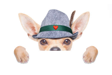 bavarian german chihuahua dog with  gingerbread and hat, with blackboard or placard banner ,  isolated on white background , ready for the beer celebration festival in munich
