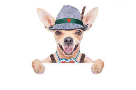 lederhose: bavarian german chihuahua dog with  gingerbread and hat, with blackboard or placard banner ,  isolated on white background , ready for the beer celebration festival in munich
