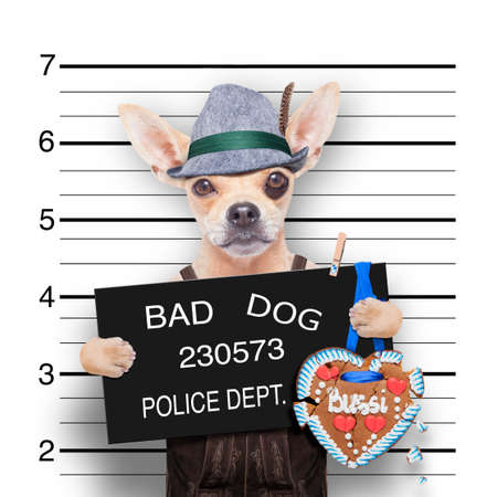 felon: bavarian german chihuahua dog with  gingerbread and hat, mugshot at police station Stock Photo