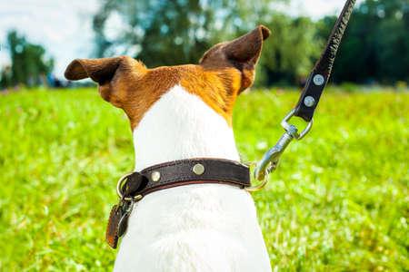 obediencia: perro Jack Russell con el dueño y una correa de cuero listo para ir a dar un paseo o walkies, al aire libre fuera en el parque o río