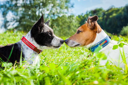 couple of dogs in love kissing with nose in park outdoors , dating and flirting close together on summer vacation holidays