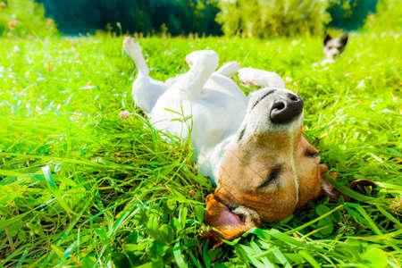 ジャック ラッセル犬リラックス、屋外の公園で牧草地の草で休んで、外の夏の休暇の休日