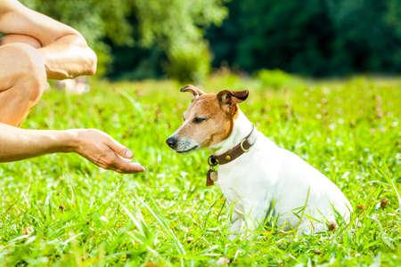 perro Jack Russell con el propietario con premio de comida en la mano, la formación de exterior y al aire libre en el parque o prado