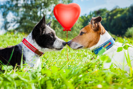 couple of dogs in love kissing with nose in park outdoors , dating and flirting close together on summer vacation holidays or honeymoon Banque d'images