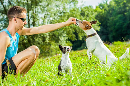 jack russell dogs with owner with food treat in hand , training outside and outdoors at the park or meadow