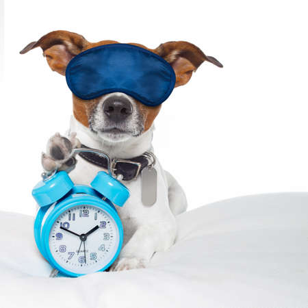 overslept: dog  resting ,sleeping or having a siesta  with alarm  clock and eye mask,  holding a clock , isolated on white background Stock Photo