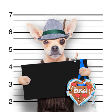 beerfest: bavarian german chihuahua dog with  gingerbread and hat, mugshot at police station Stock Photo
