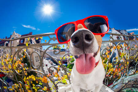 smiley: silly dumb crazy jack russell dog portrait in close up fisheye lens look on balcony on summer vacation holidays, sticking out tongue Stock Photo