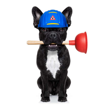 work from home: handyman  french bulldog dog worker with helmet and plunger  in mouth, ready to repair, fix everything at home, isolated on white background ,