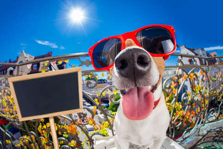 sunbath: silly dumb crazy jack russell dog portrait in close up fisheye lens look on balcony on summer vacation holidays, sticking out tongue, placard banner blackboard on the side Stock Photo