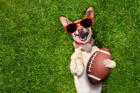 soccer  chihuahua dog holding a rugby ball and laughing out loud with red sunglasses outdoors on meadow grass at the field