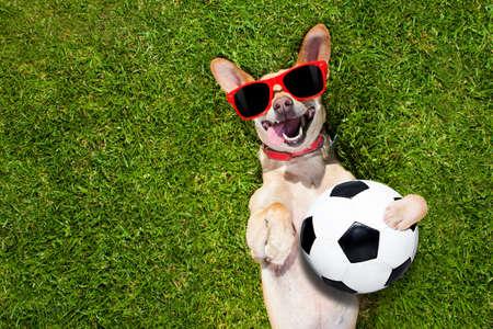 football chien chihuahua tenant un ballon et de rire à haute voix avec des lunettes rouges sur l'herbe prairie dans le parc en plein air