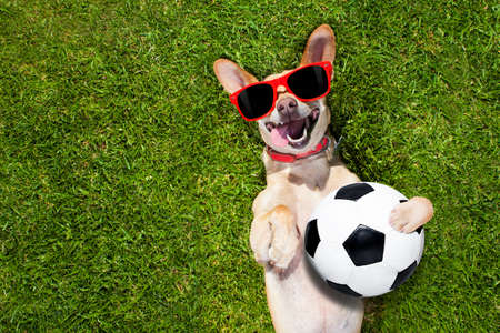laughing out loud: soccer  chihuahua dog holding a ball and laughing out loud with red sunglasses on the grass meadow at the park outdoors
