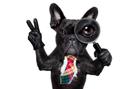 discover: french bulldog  dog searching and finding as a spy with magnifying glass , isolated on white background, with peace and victory fingers