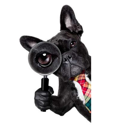 oficina: francés bulldog buscar y encontrar como espía con lupa, aislado en fondo blanco, detrás de la bandera pancarta pizarra Foto de archivo
