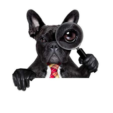 investigación: francés bulldog buscar y encontrar como espía con lupa, aislado en fondo blanco, detrás de la bandera pancarta pizarra Foto de archivo