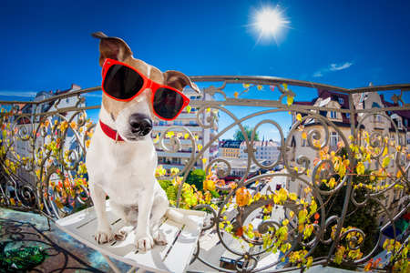 sacar la lengua: silly dumb crazy jack russell dog portrait in close up fisheye lens look on balcony on summer vacation holidays, sticking out tongue Foto de archivo