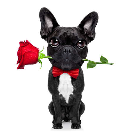 perrito: valentines perro bulldog francés en el amor que sostiene una rosa con la boca, aislado en fondo blanco