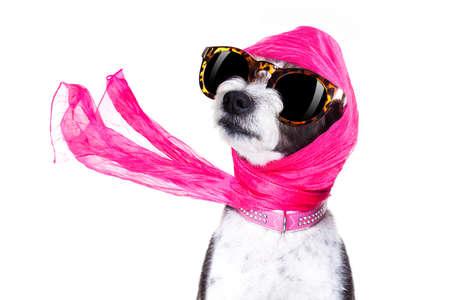 lifestyle: chic freddo cane alla moda diva di lusso con occhiali da sole divertenti, sciarpa e collana, isolato su sfondo bianco