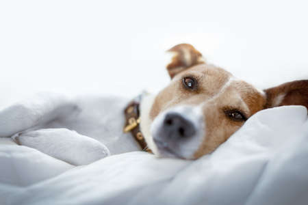 jack russell terrier dog under the blanket or sheets in bed , having a siesta and relaxing