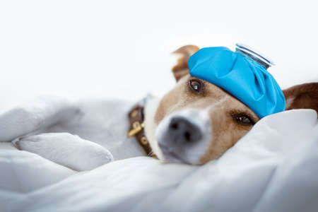 jack russell dog very sick and ill with ice pack or bag on head,  suffering, hangover and headache, resting on bed