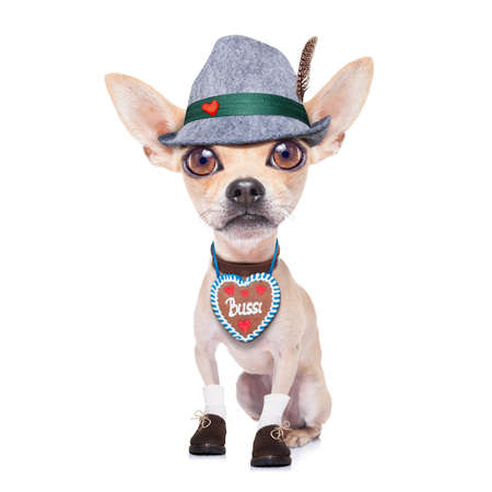 silly face: bavarian german chihuahua dog with  gingerbread and hat, isolated on white background , ready for the beer celebration festival in munich Stock Photo