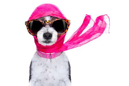 chic, la mode diva luxe chien cool avec des lunettes de soleil drôles, écharpe et collier, isolé sur fond blanc