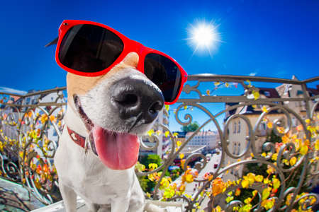 dumb: silly dumb crazy jack russell dog portrait in close up fisheye lens look on balcony on summer vacation holidays, sticking out tongue Stock Photo