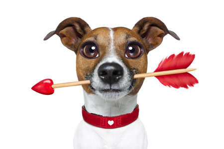 doggies: valentines  french bulldog dog in love holding arrow with mouth , isolated on white background Stock Photo