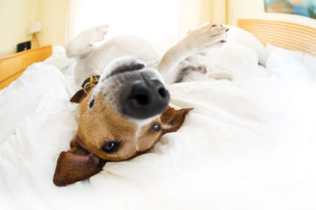 secure: jack russell terrier dog under the blanket or sheets in bed , having a siesta and relaxing