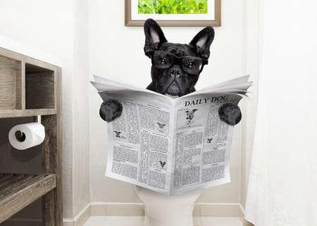 bulldog francés, sentado en un asiento de inodoro con problemas de digestión o estreñimiento leer el periódico o revista del corazón