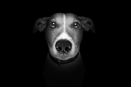 close up: jack russell terrier dog isolated on black dark background looking at you frontal, isolated