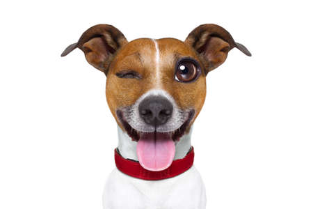 lol: jack russell terrier emoticon or emoji dog funny silly crazy and dumb sticking out the tongue, isolated on white background Stock Photo