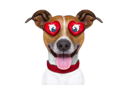animal idiot: jack russell terrier emoticon or emoji dog funny silly and crazy in love with heart on eyes , sticking out the tongue, isolated on white background, for valentines day Stock Photo