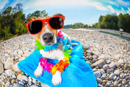 jack russell dog  with  lying on a blue towel, near the river outdoors, sunbathing with funny sunglasses on summer vacation holidays Stock Photo