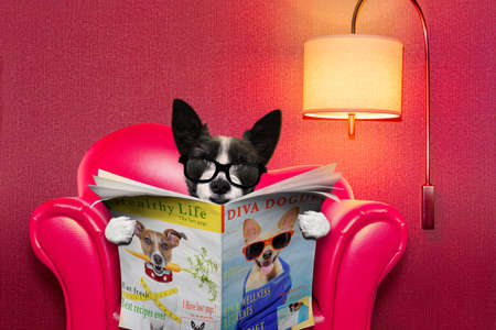 terrier dog reading newspaper on a red sofa , couch, or lounger , in living room , isolated on  wall