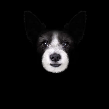 fashion: terrier dog isolated on black dark background looking at you frontal, isolated