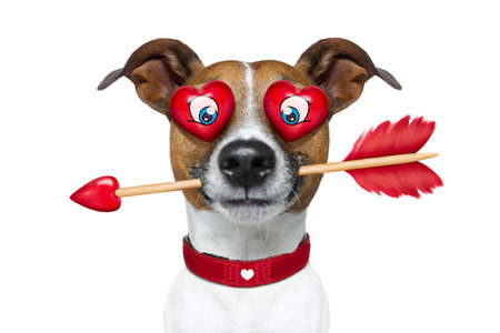 jack russell terrier: jack russell terrier emoticon or emoji dog funny silly and crazy in love with heart on eyes ,arrow in mouth, isolated on white background, for valentines day