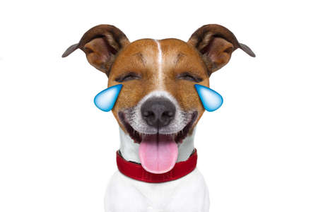 jokes: jack russell terrier emoticon or emoji dog funny silly cry and laughing , sticking out the tongue, isolated on white background