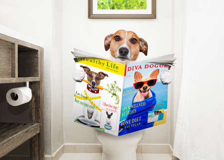 a toilet seat: jack russell terrier, sitting on a toilet seat with digestion problems or constipation reading the gossip magazine or newspaper