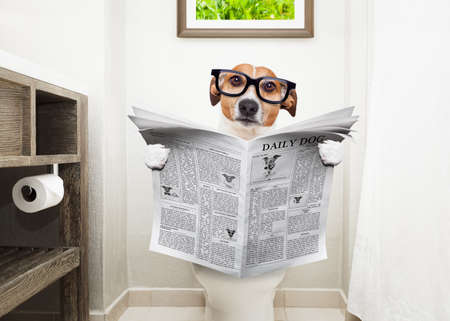 closet: jack russell terrier, sitting on a toilet seat with digestion problems or constipation reading the gossip magazine or newspaper