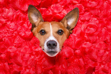 pattern: jack russell  dog looking and staring at you   ,while lying on bed full of rose petals as background  , in love on valentines day
