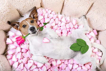 photo: Jack russell  dog looking and staring at you   ,while lying on bed with valentines rose in mouth,  in love, marshmallows as a background