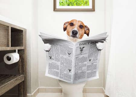 Jack Russell Terrier, zittend op een wc-bril met spijsverteringsproblemen of constipatie het lezen van de roddel tijdschrift of krant Stockfoto