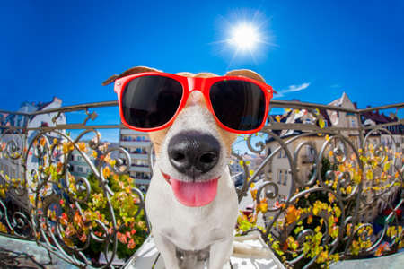 sunbath: silly dumb crazy jack russell dog portrait in close up fisheye lens look on balcony on summer vacation holidays, sticking out tongue Stock Photo
