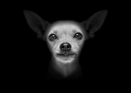 paw russell: chihuahua dog isolated on black dark background looking at you frontal, isolated