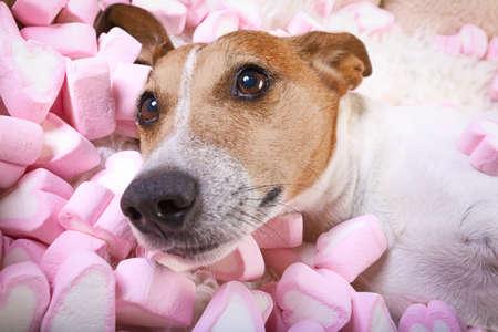 Jack Russell hond kijken en staren naar je, terwijl liggend op bed nemen van een selfie, in de liefde, marshmallows als achtergrond Stockfoto