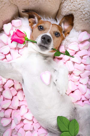 Jack russell  dog looking and staring at you   ,while lying on bed with valentines rose in mouth, taking a selfie , in love, marshmallows as a background
