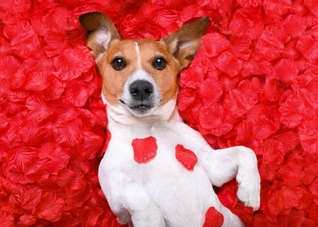 happy holidays: jack russell  dog looking and staring at you   ,while lying on bed full of rose petals as background  , in love on valentines day
